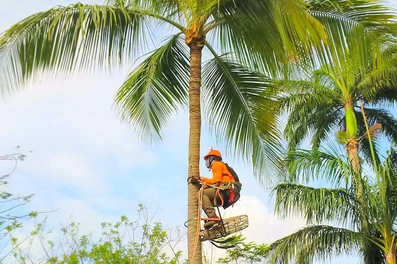 servicio de poda de palmeras